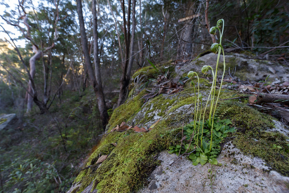 A little colony of nodding greenhoods,  Pterostylis nutans , growing here on a granite boulder in a secluded valley in the Blue Mountains. This is one of those images where I wished for a bit more micro-contrast and saturation.