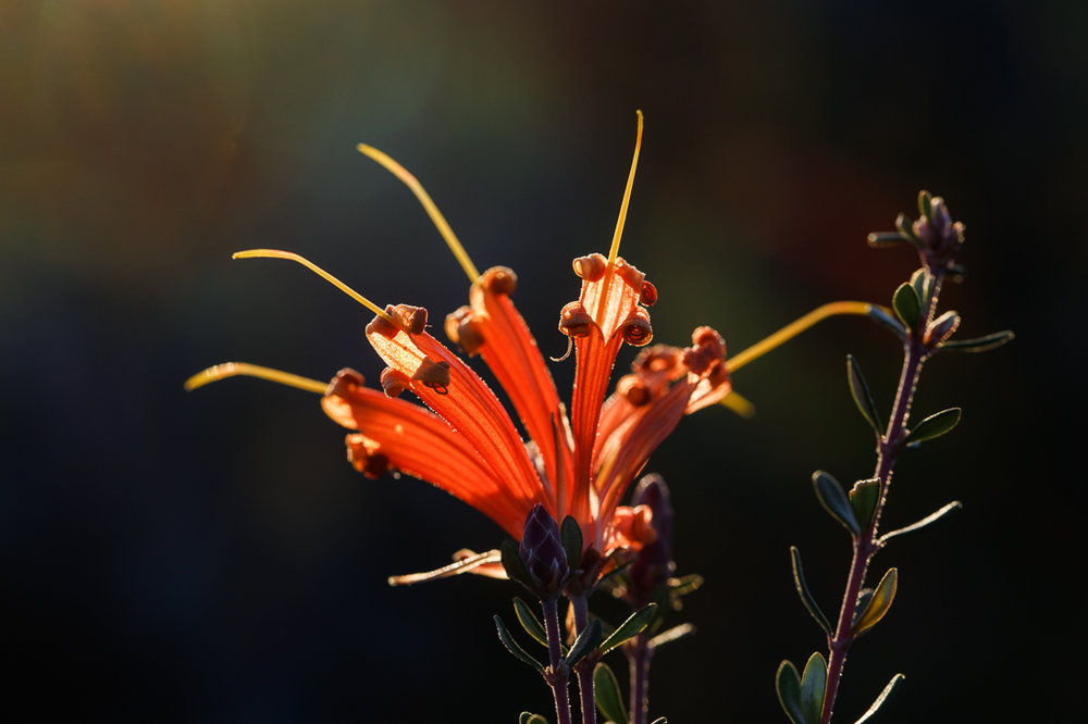 The striking shape of  Lambertia inermis  flowers.
