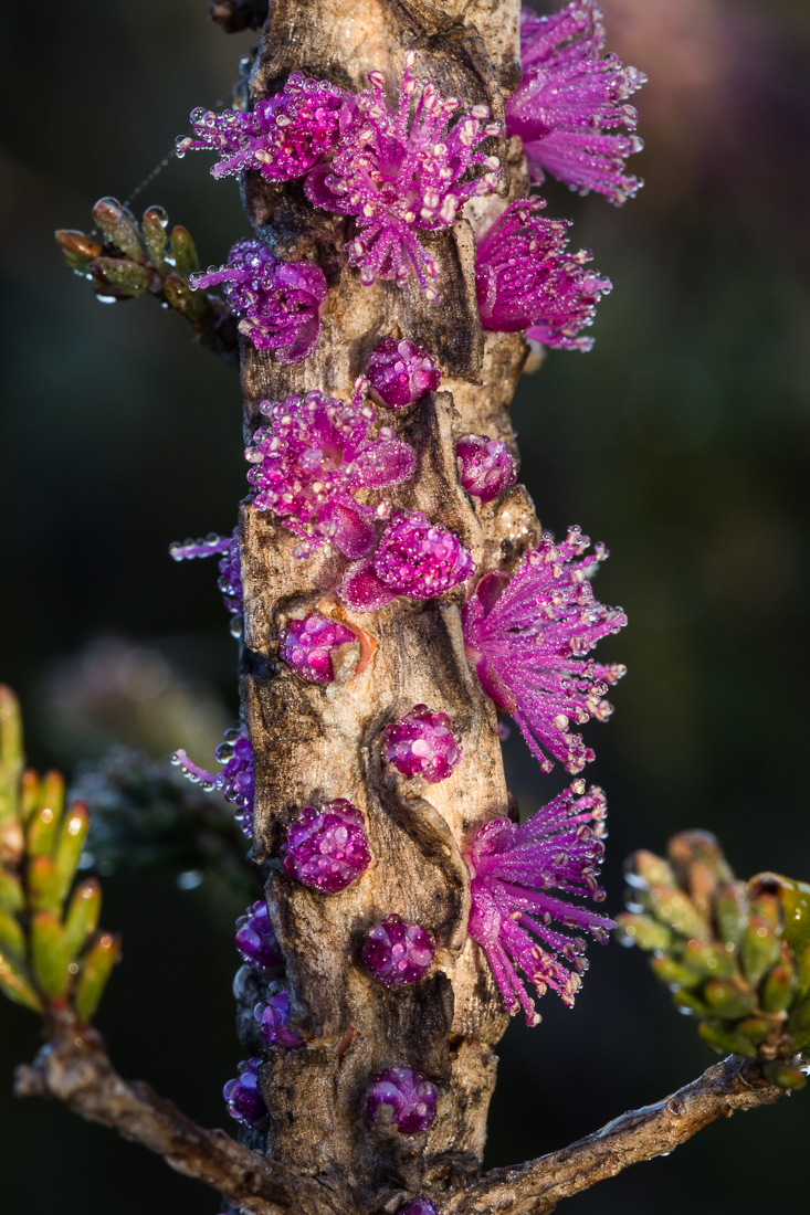Detail:  Melaleuca suberosa  flowers bursting through the corky bark of the branches.