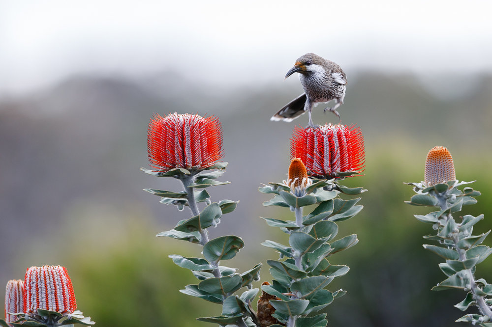 When this Western Wattlebird sticks its bill in the  Banksia coccinea  flowers, it receives a little dab of pollen on its face. The orange on this birds face is all from pollen. When it visits the next flower, and the next, the pollen is transferred to the stigma (the female bit of the flower), allowing fertilisation to occur.