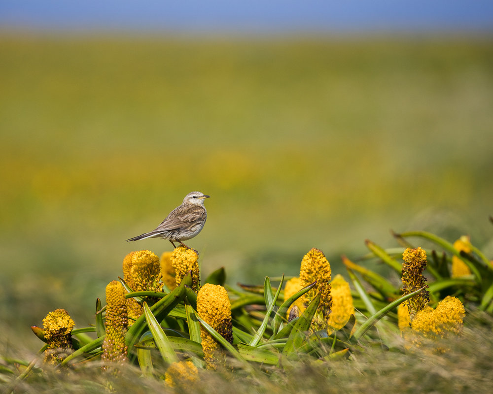 Ross' Lily ( Bulbinella rossii)  with Auckland Island Pipit on top (a subspecies of the New Zealand Pipit).
