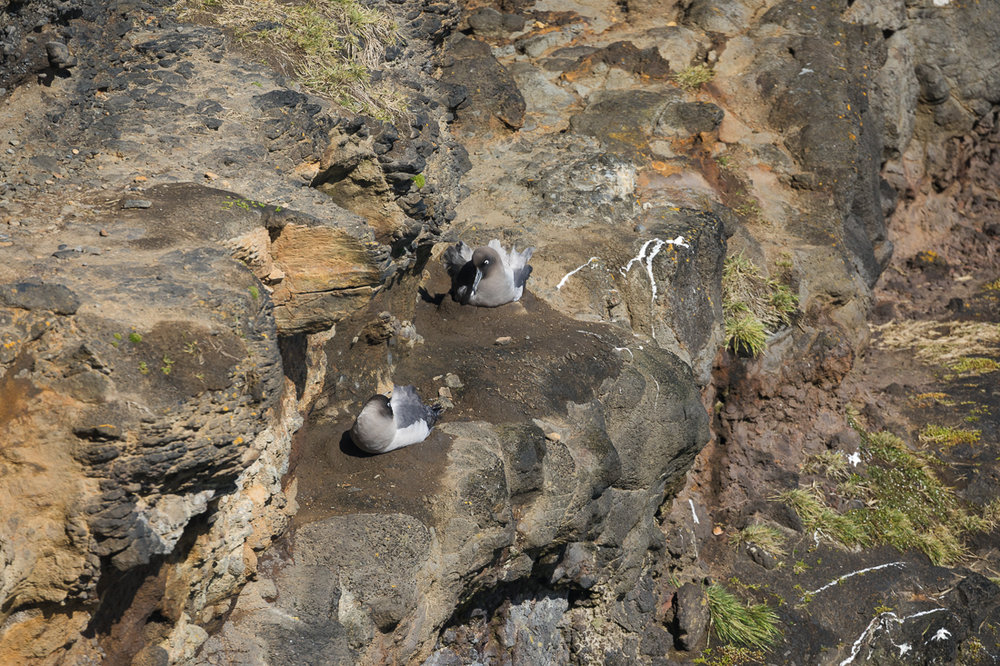 Light-mantled Sooty Albatross nest on cliffs around Enderby Island.