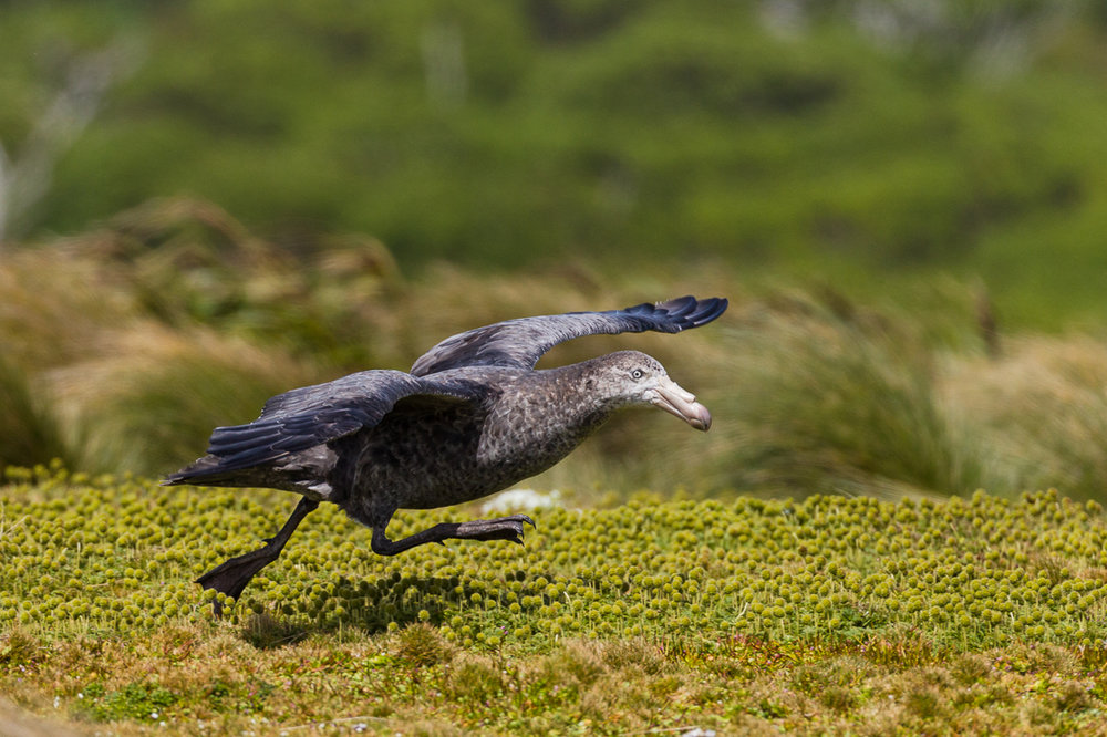 Adult Northern Giant Petrel on the runway.