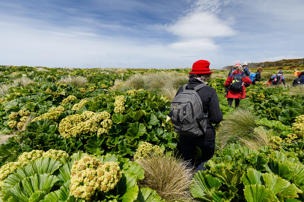 Fields of Macquarie Island cabbage ( Stilbocarpa polaris ) amongst tall tussock grass.