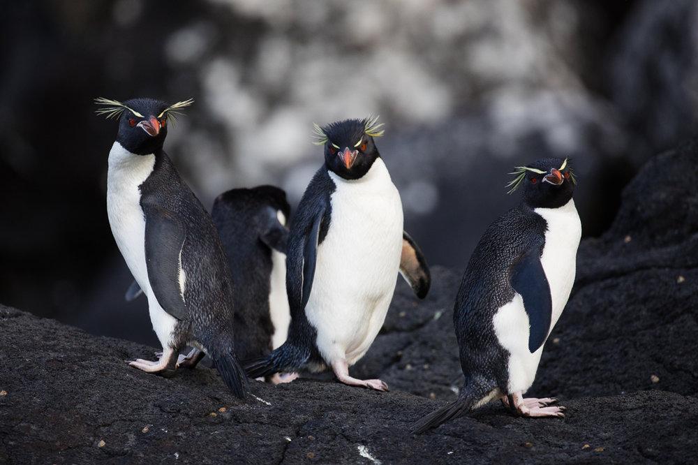 Eastern Rockhopper Penguins on Auckland Island.
