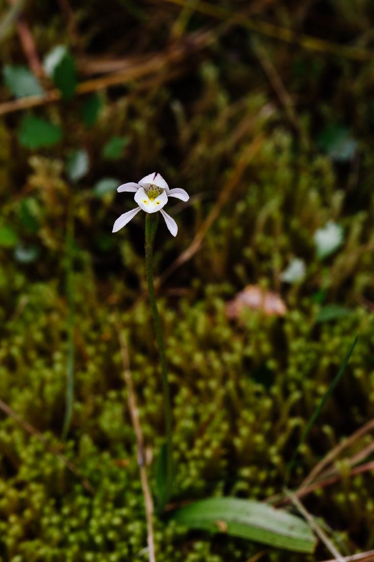 The unusual  Aporostylis bifolia .