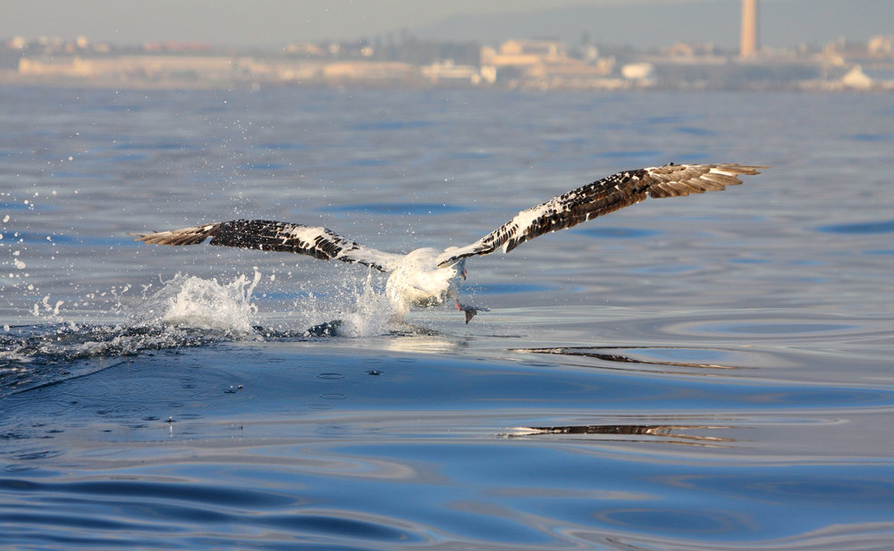Wandering Albatross, off Wollongong, 23.8.09.jpg