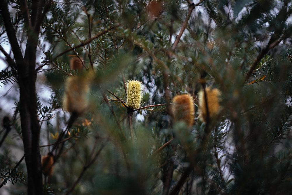 Banksia marginata  flowers.