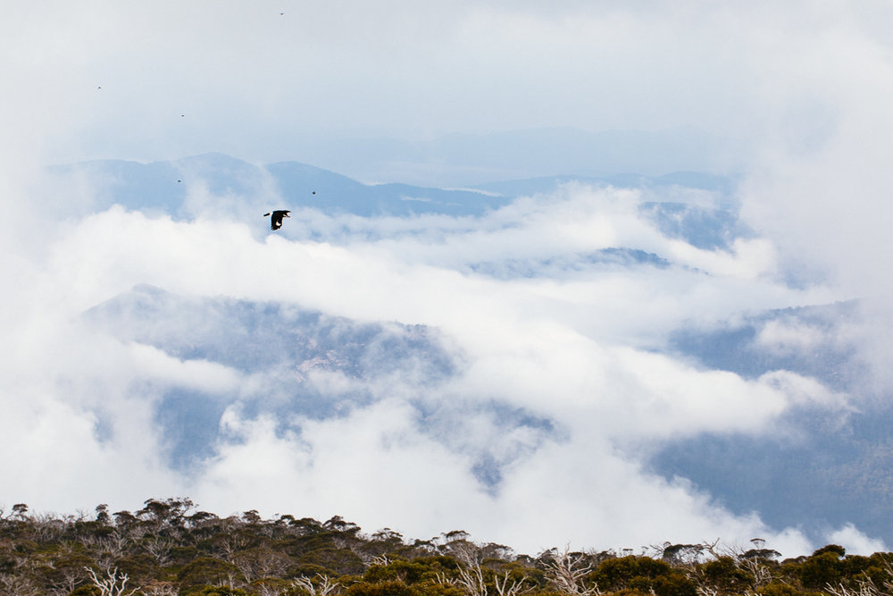 A Pied Currawong summits Mt Bimberi.