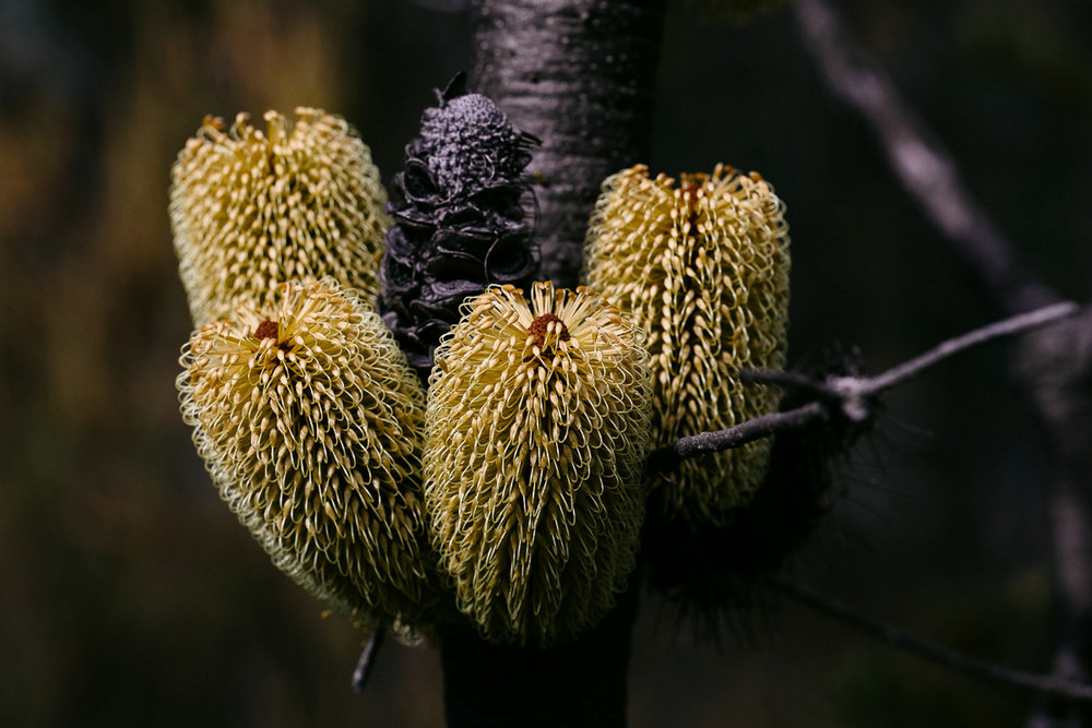 A clump of  Banksia marginata  candles growing together from the stem.