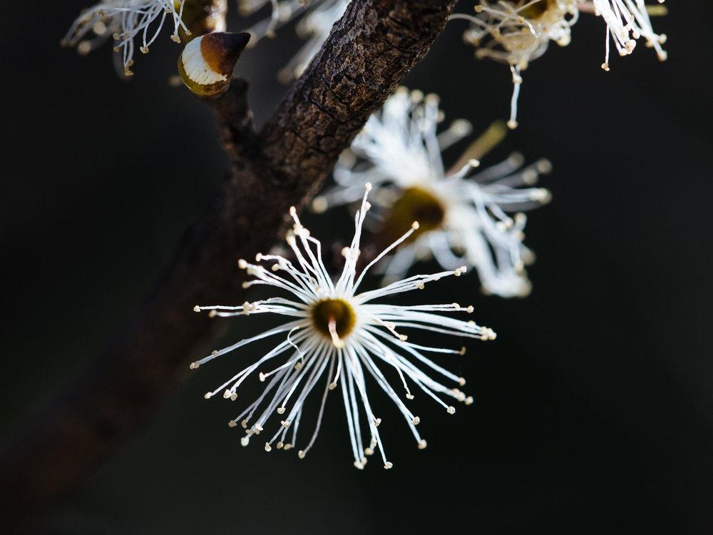 Eucalyptus stellulata  flowers.