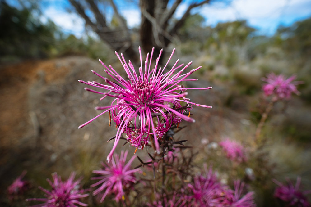 A stunning  Isopogon  sp. from Western Australia near Albany.