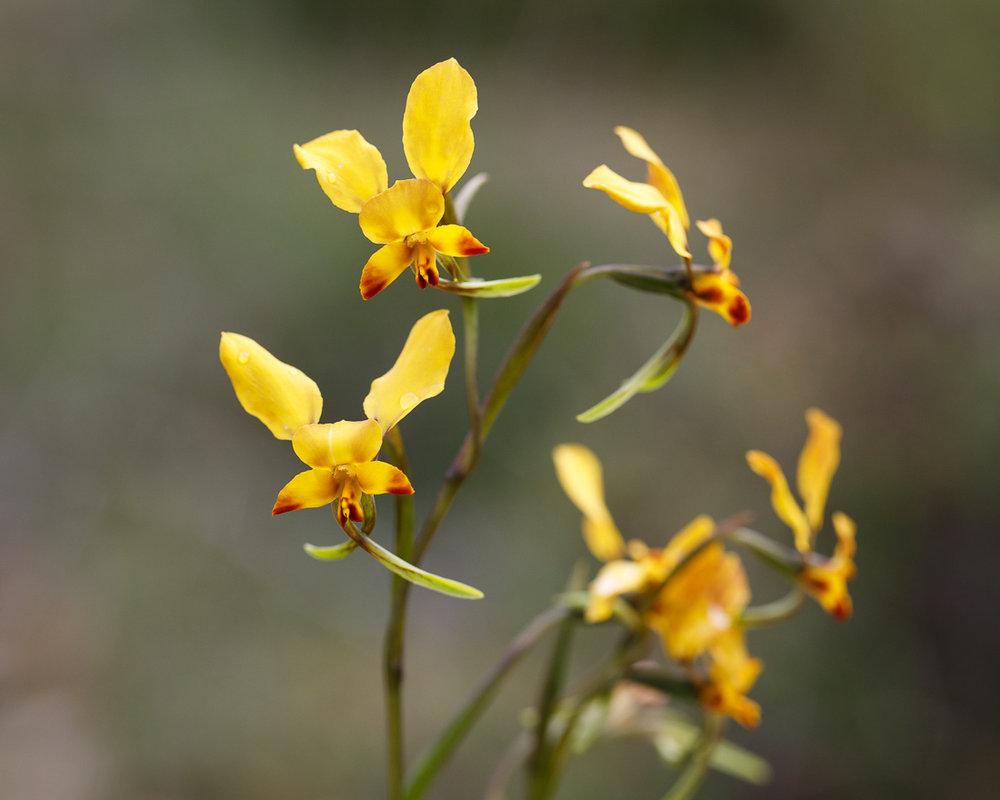 Winter donkey orchid,  Diuris brumalis