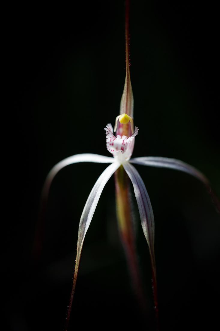 A white variant of the Moora spider orchid,  Caladenia exilis ssp. vanleeuwenii