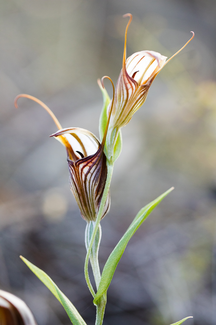 Red-veined Shell Orchid,  Pterostylis hamiltonii  - a rare double-header plant.