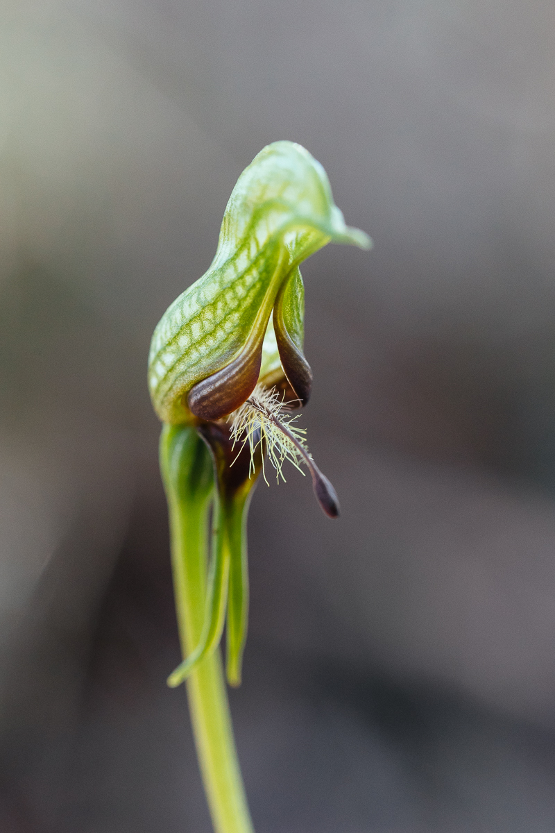 Dwarf bird orchid,  Pterostylis  sp. I don't have my book with me and can't remember whether this species has been named yet.