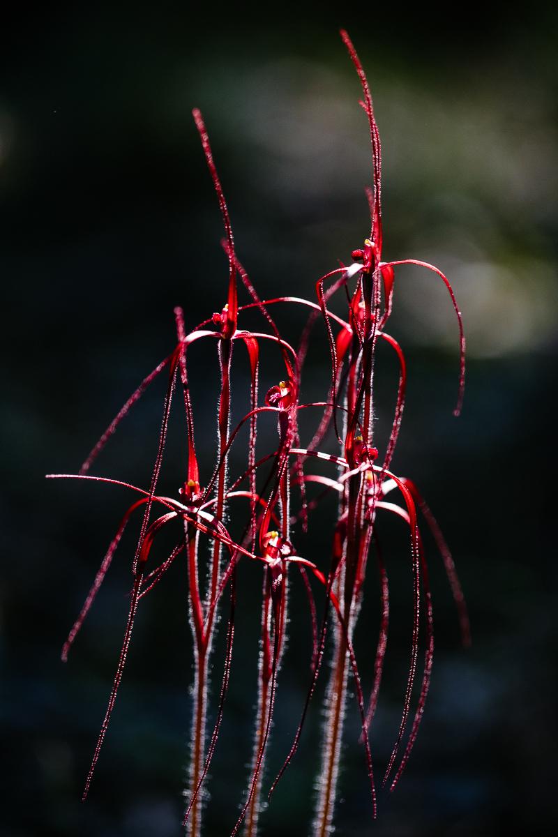 Blood spider orchid,  Caladenia filifera