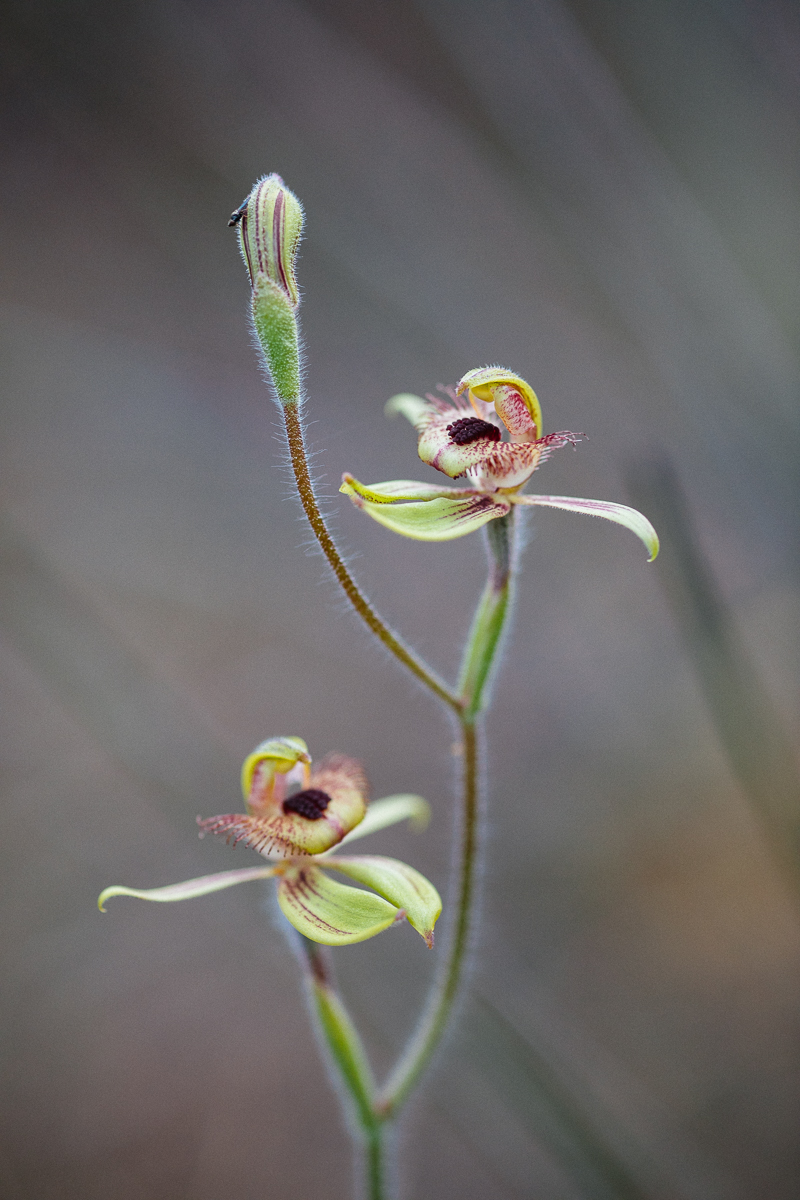 One of my favourites, the Dancing spider orchid  Caladenia discoidea . It is not easy to get the right angle to do them justice.