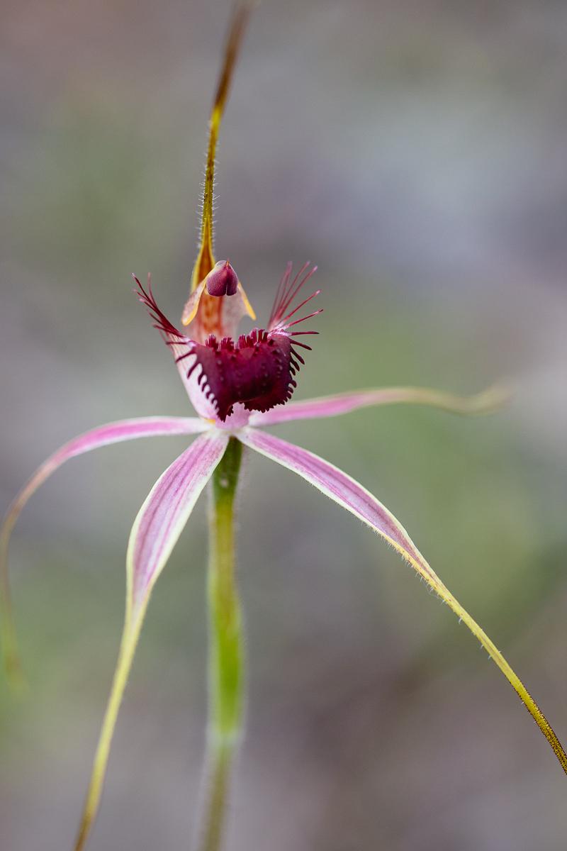 Carousel spider orchid,  Caladenia arenicola