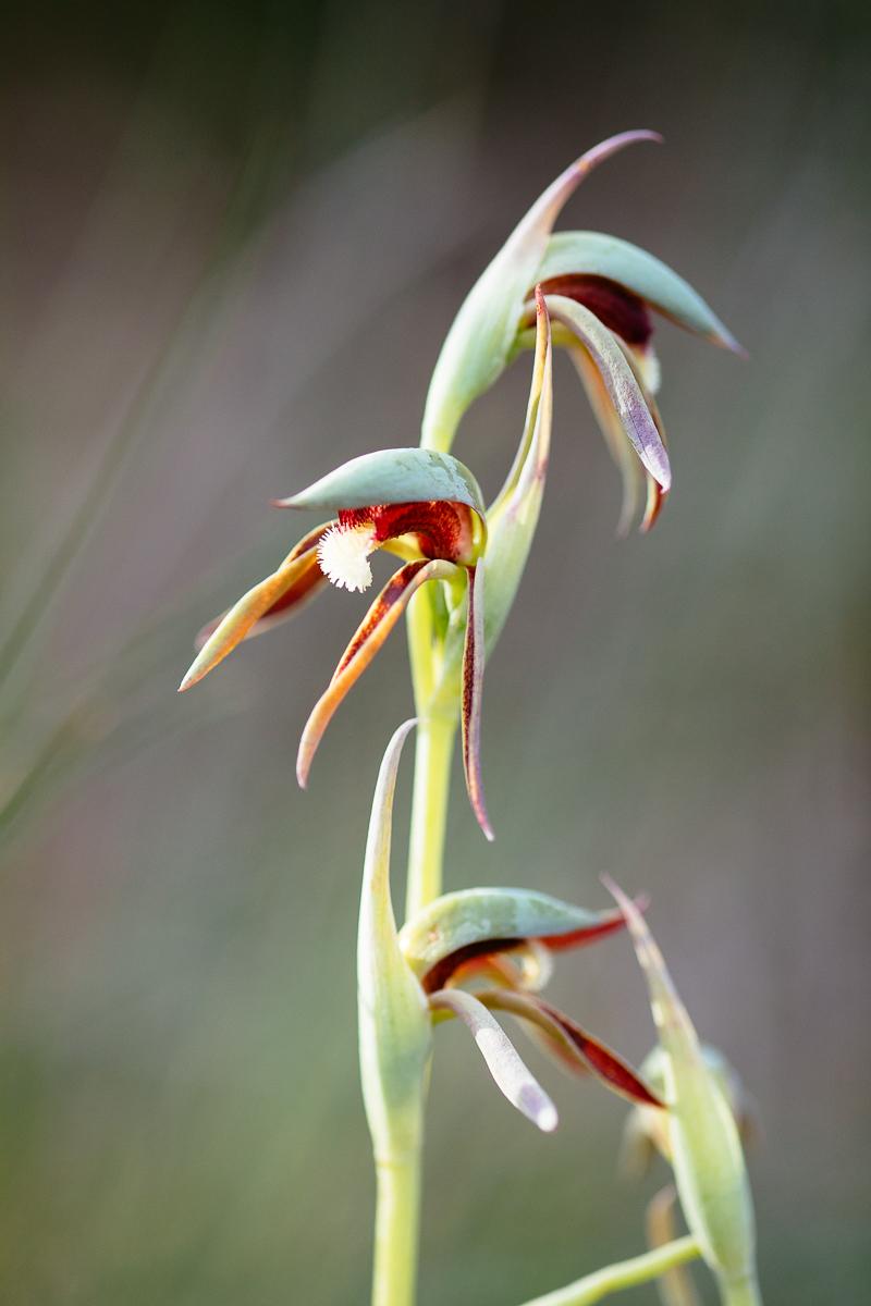 Rattle beaks,  Lyperanthus serratus