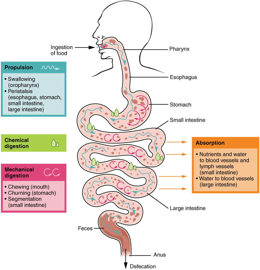 2405_Digestive_Process.jpg