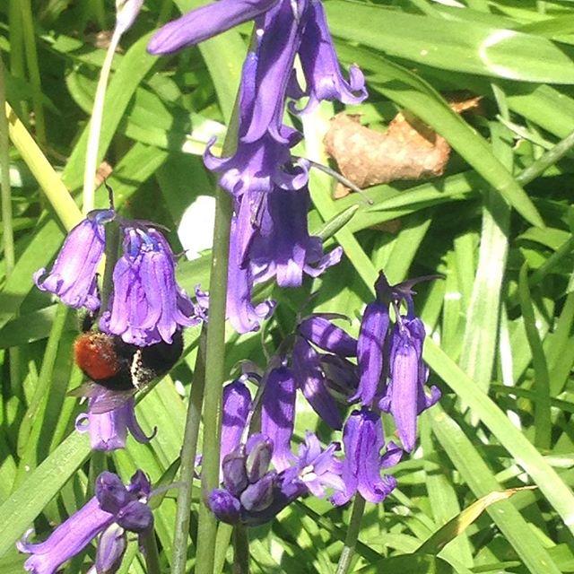 Bumblebee bum. Can you spot it? #healthwalks #sussex #bumblebum