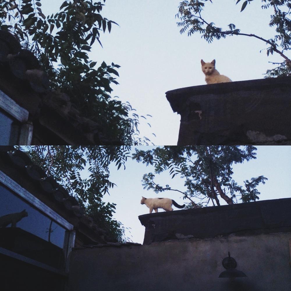 两只白猫2.JPG