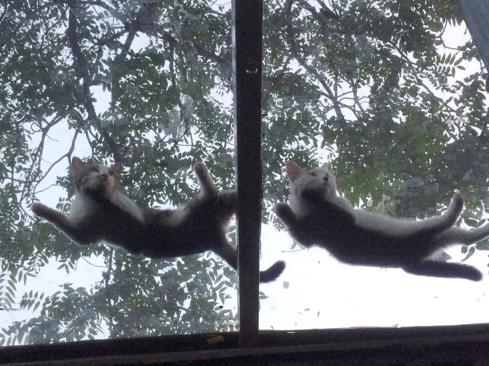 两只白猫1.JPG