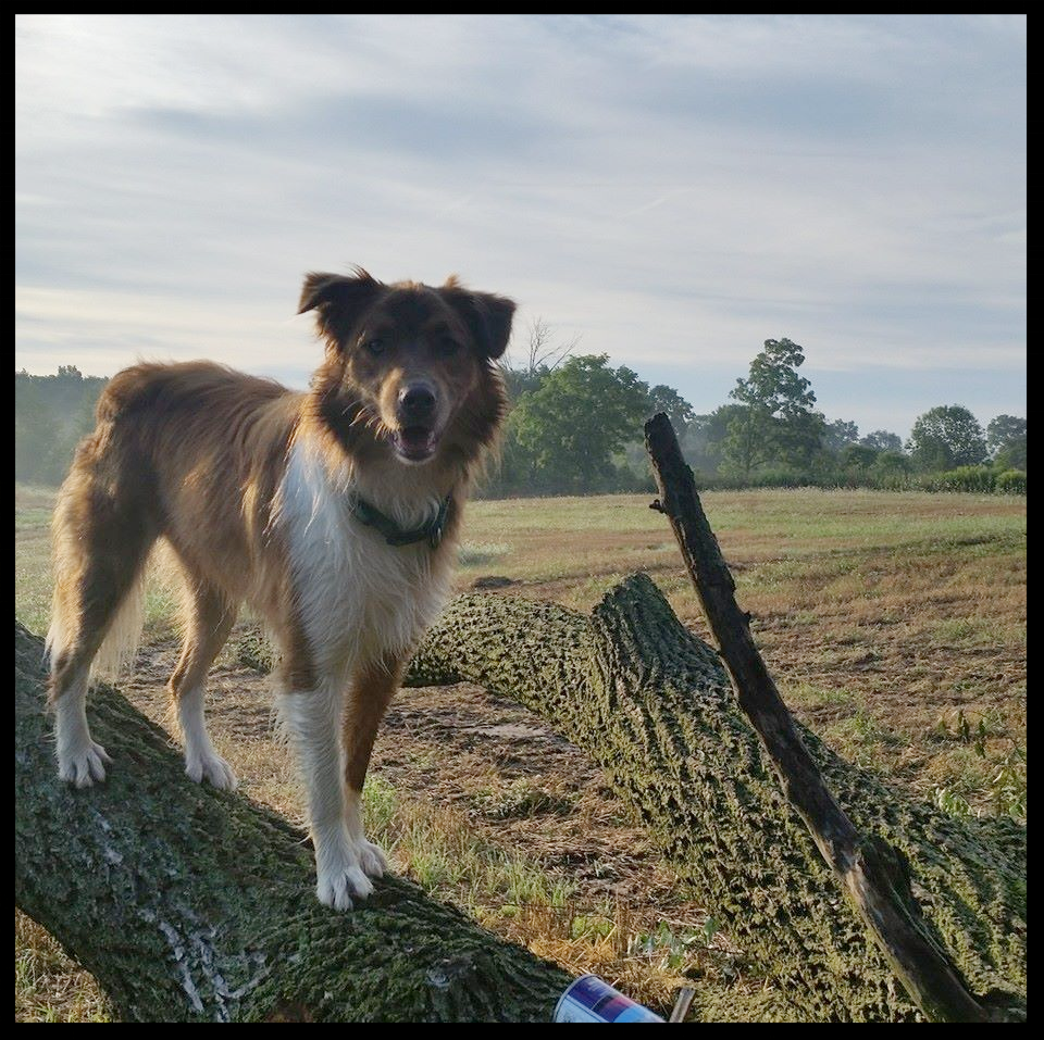 David's Sidekick, Gunnar, The Australian Sheppard