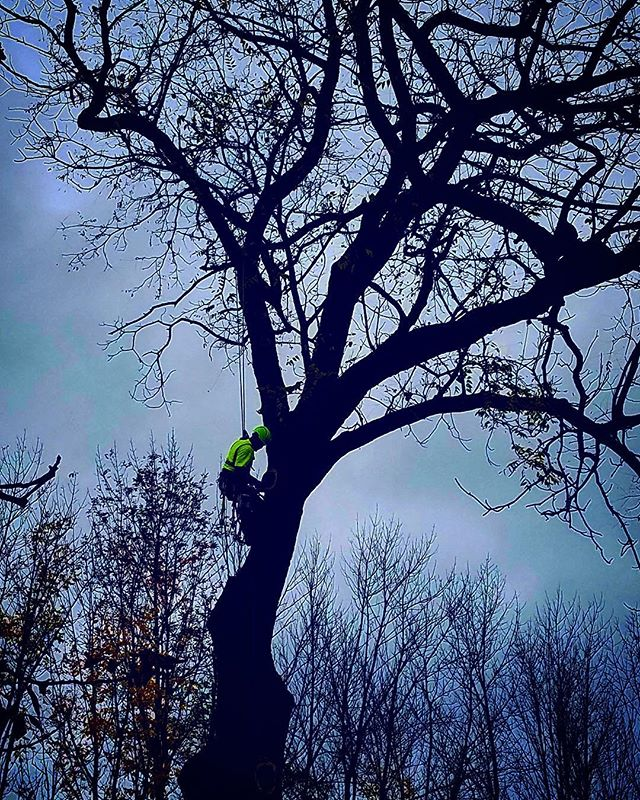 Job in Northern Michigan #michigantimber #michiganwhiteoak #michigantrees #treeharvest #treeharvesting #forestmanagement