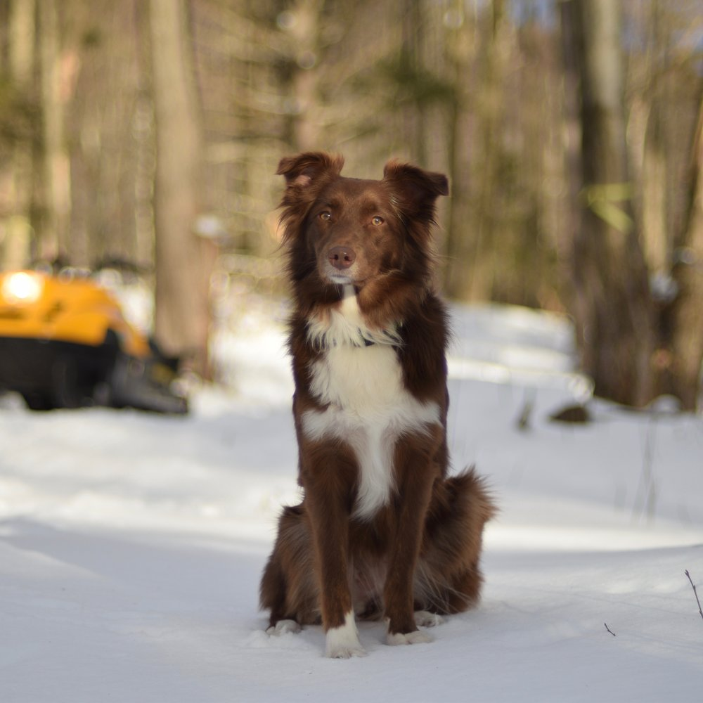 Vermont Maple Syrup Dog