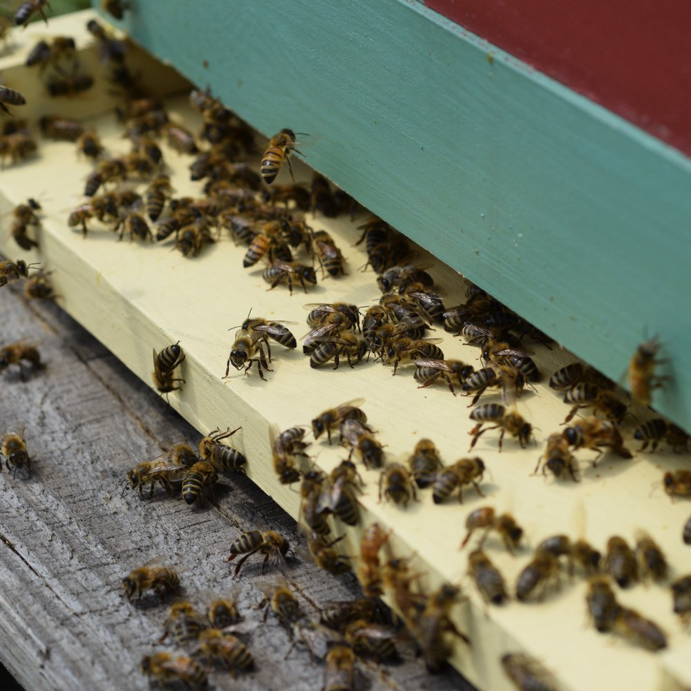 Treatment free Vermont honey bees