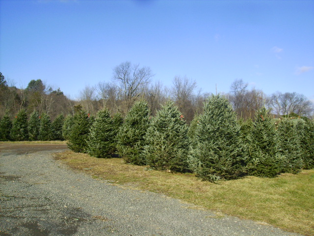 Holiday wreaths and Christmas trees arrive on Thanksgiving.