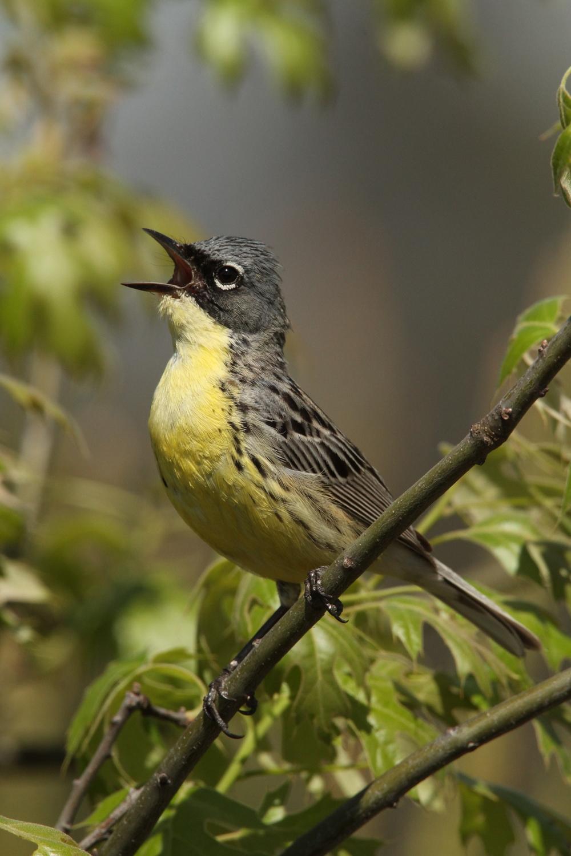 Kirtland's Warbler, Grayling, Michigan