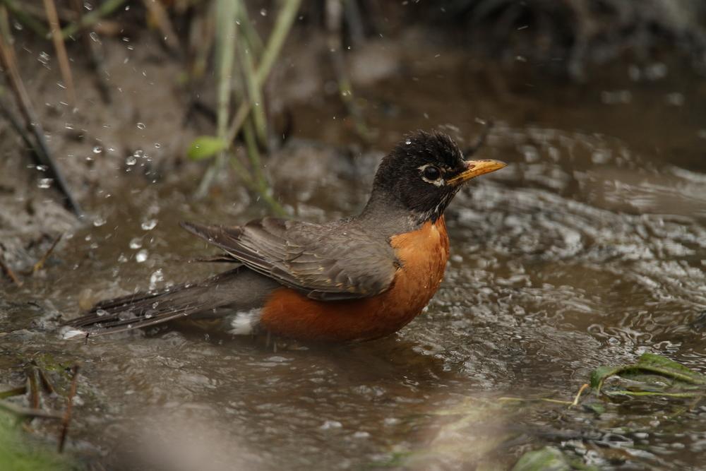 American Robin, Ithaca, New York