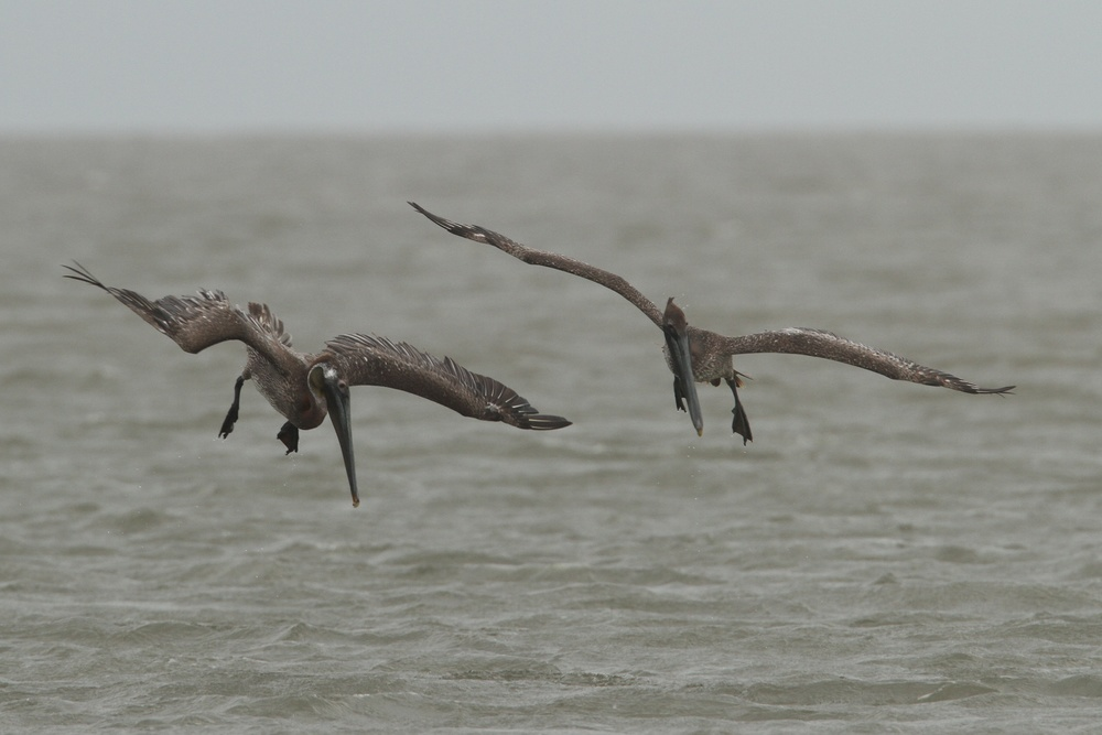 Brown Pelican, Whiskey Island, Louisiana