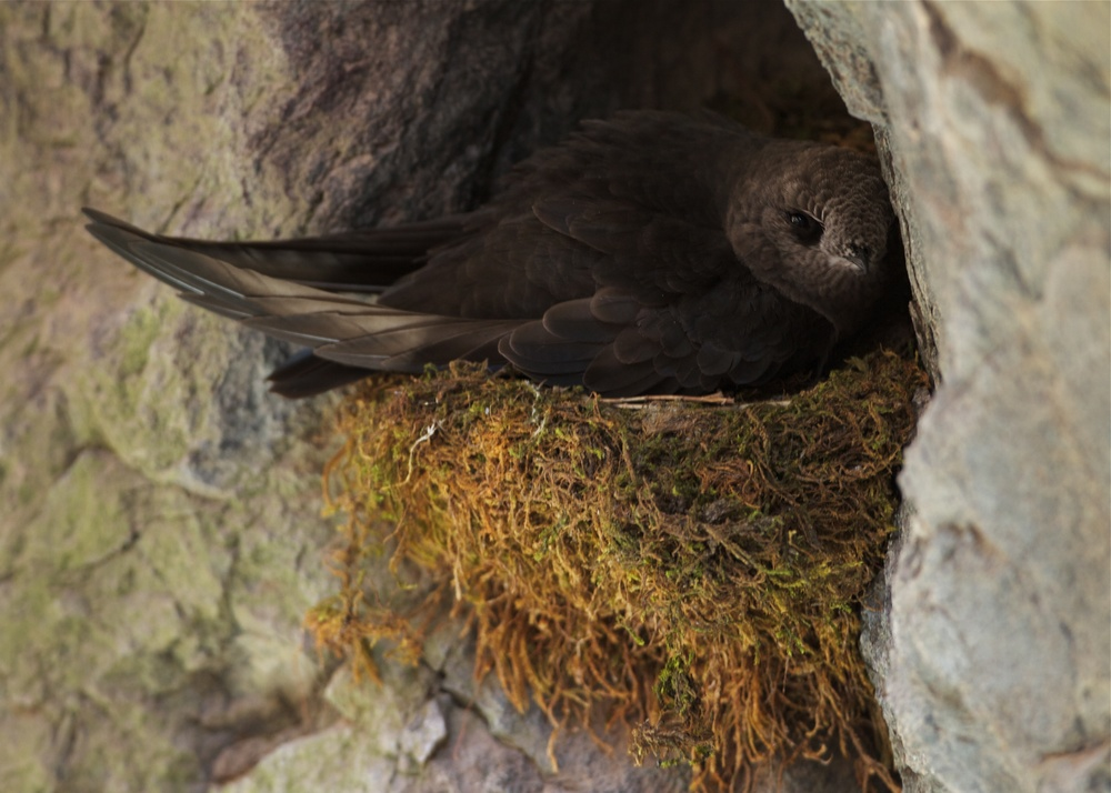 Black Swift on nest, Ouray, Colorado