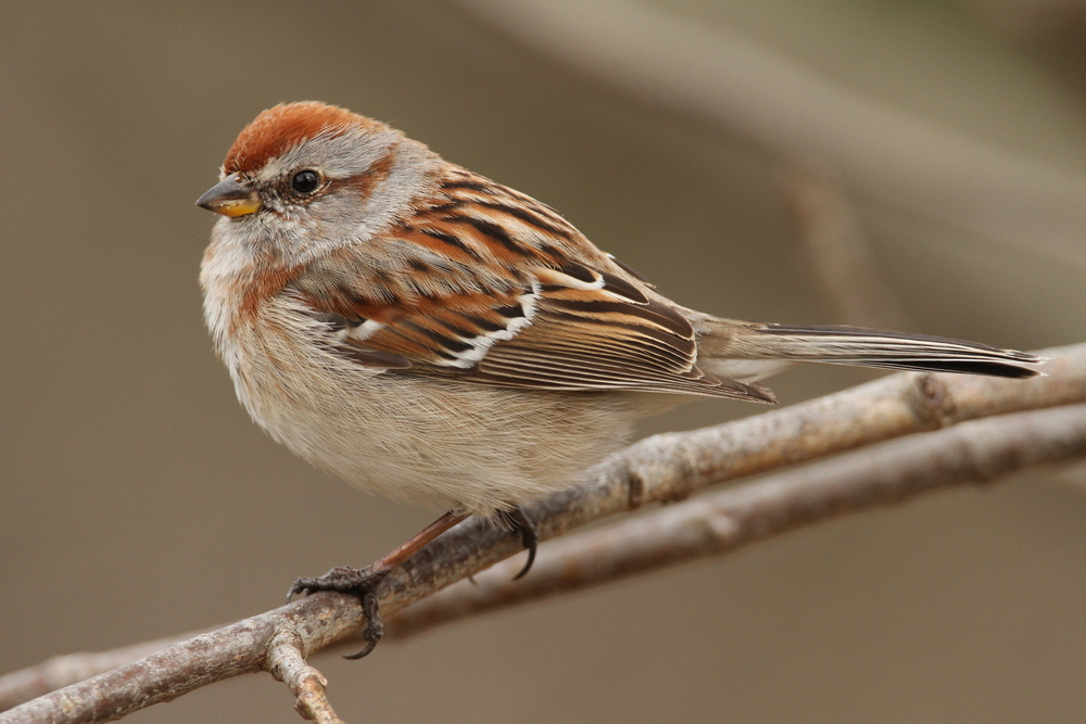 American Tree Sparrow, Brooktondale, New York
