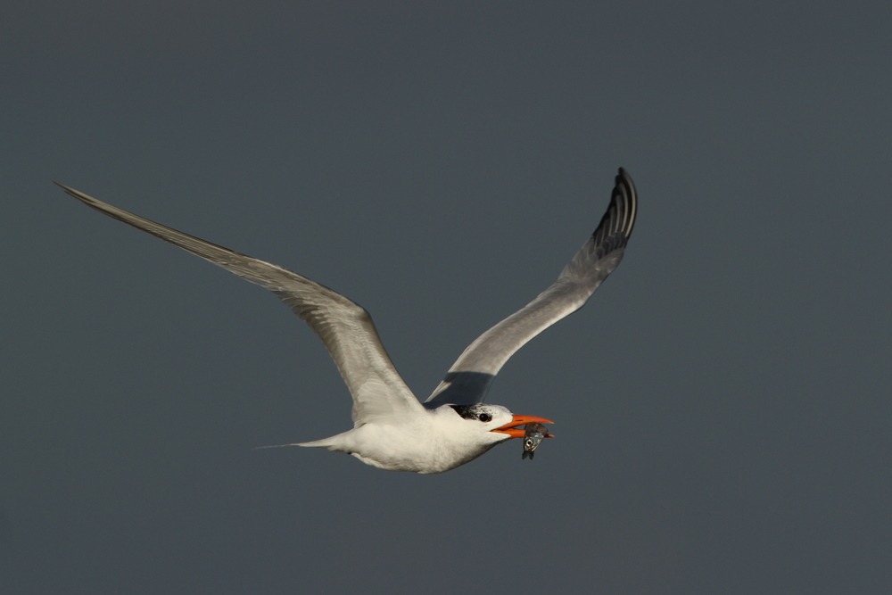 Royal Tern, Breton Island, Louisiana