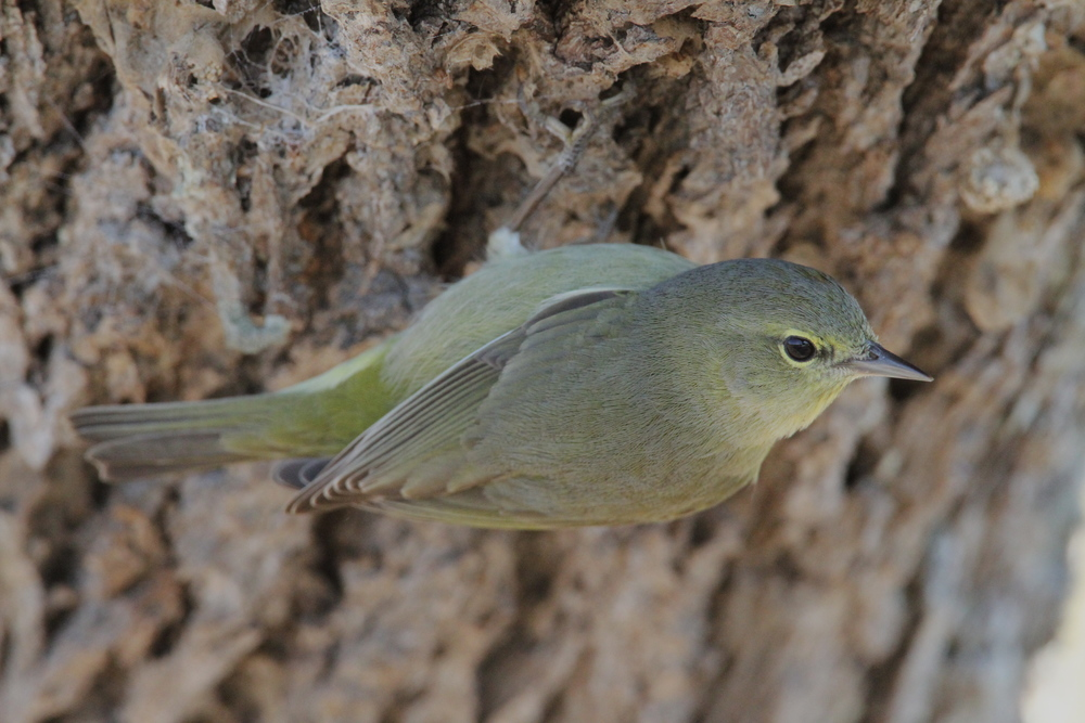 Orange-crowned Warbler, Aransas, Texas
