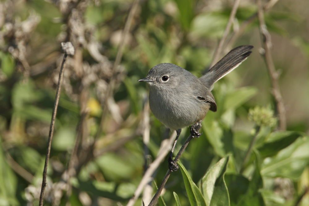 California Gnatcatcher, Laguna Beach, California