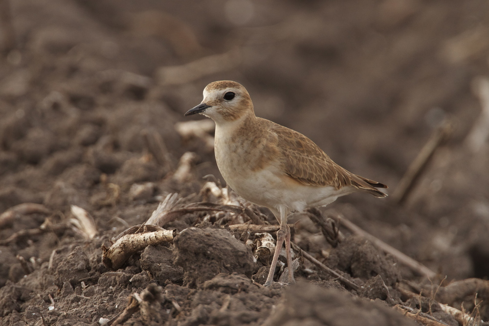Mountain Plover, Sebastian, Texas