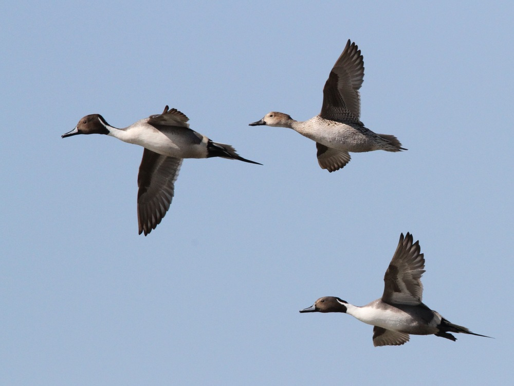 Northern Pintail, Aransas, Texas