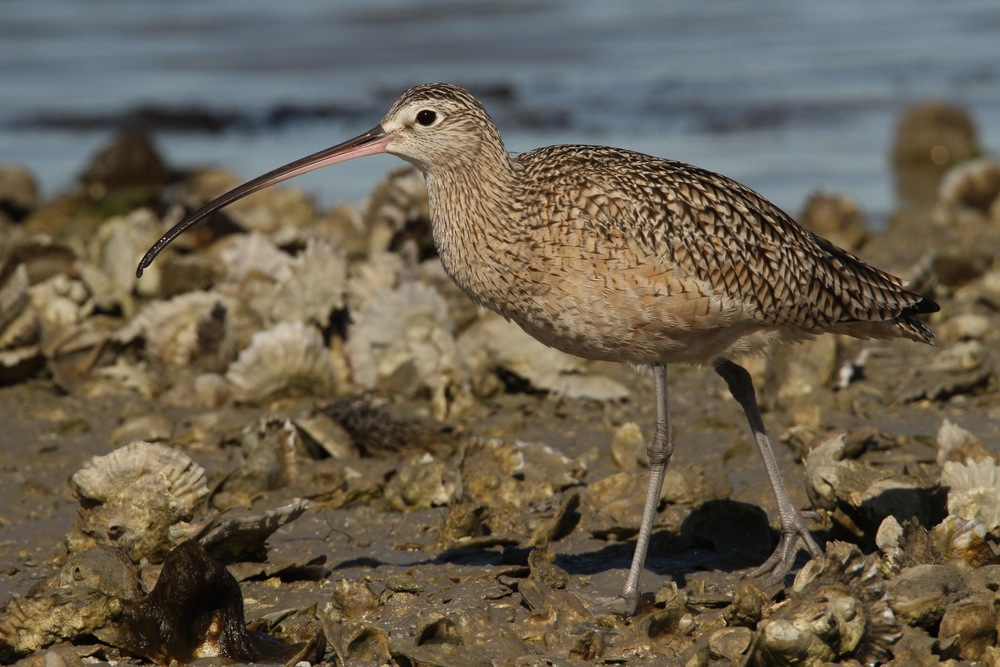 Long-billed Curlew, Goose Island, Texas