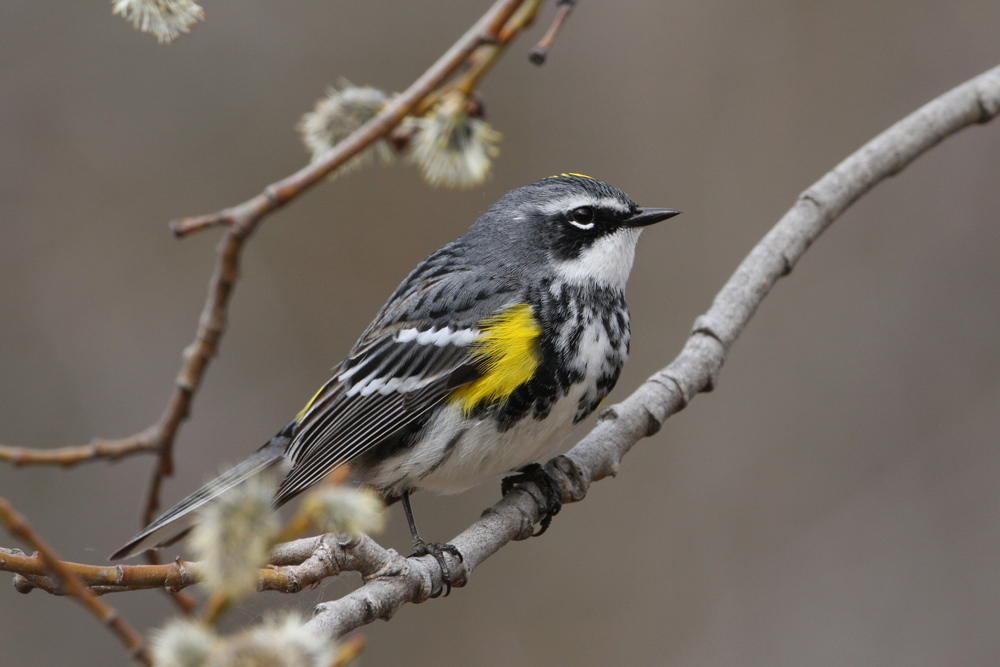 Yellow-rumped Warbler, Skilak Lake, Alaska