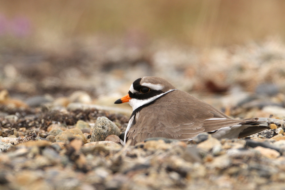 Common Ringed Plover, Gambell, Alaska