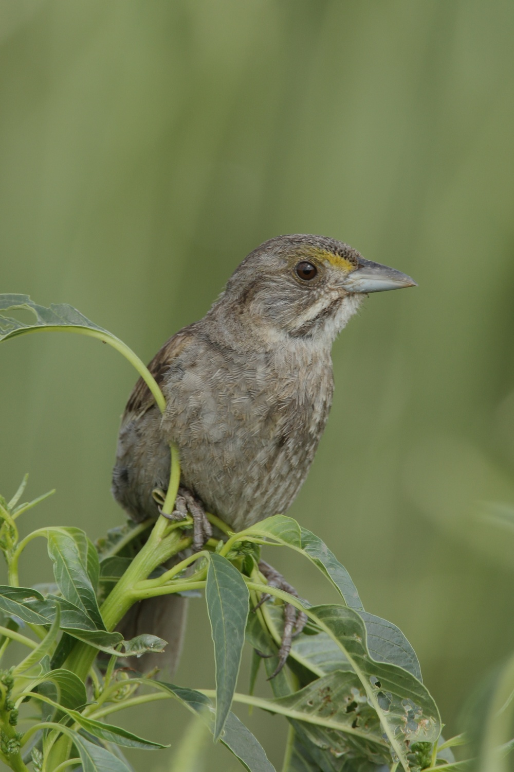 Seaside Sparrow, West Pointe a la Hache, Louisiana