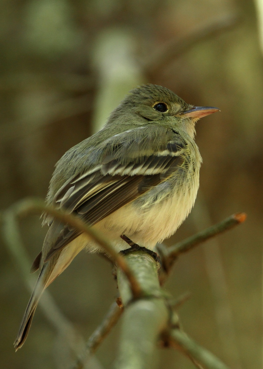 Acadian Flycatcher, Belleplain, New Jersey