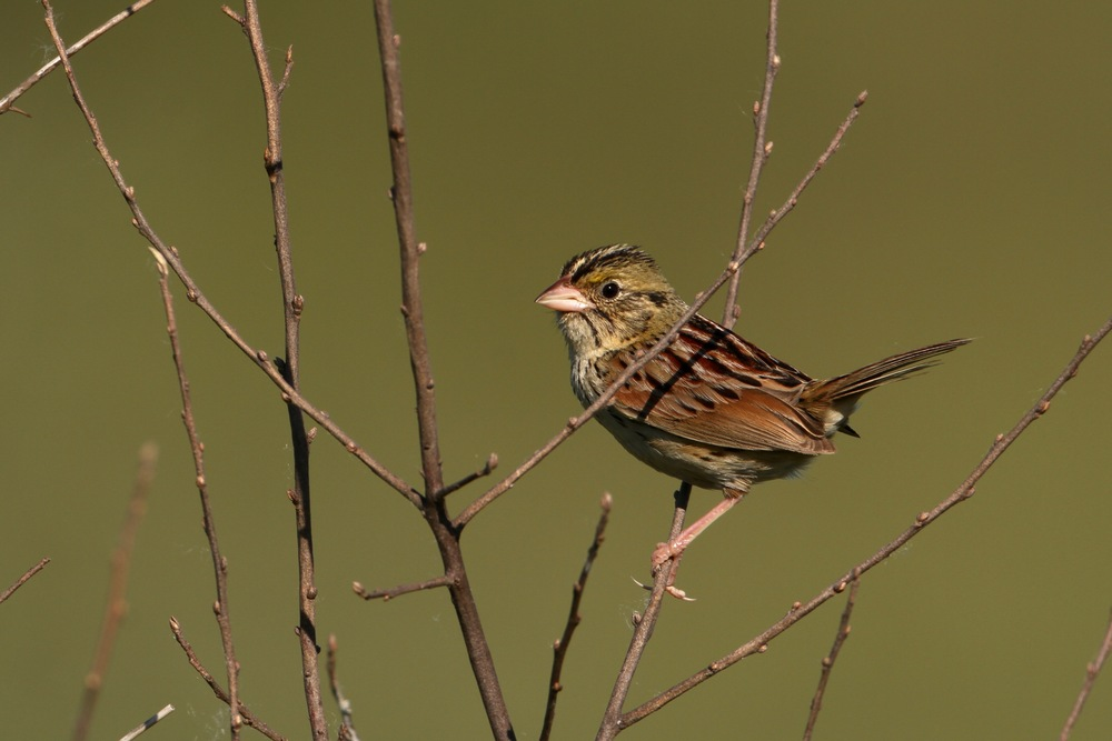 Henslow's Sparrow, Waterloo, Michigan