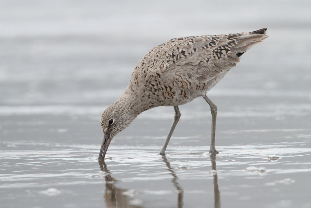 Willet, Half Moon Bay, California